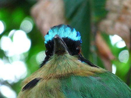 Momot černolici, Momotus momota, Blue - crowned Motmot
