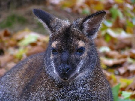Klokan rudokrký, Macropus rufogriseus, Red - necked Wallaby