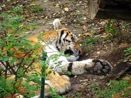 Tygr ussurijský, Panthera tigris altaica, Amur Tiger