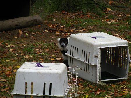 Lemur vari