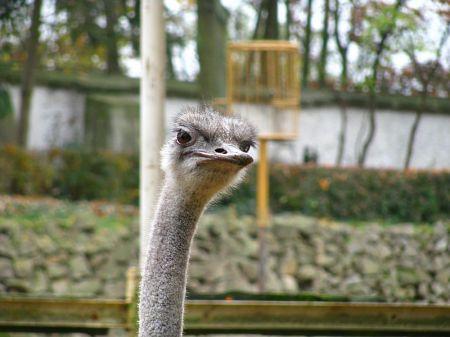 Pštros dvouprstý, Struthio camelus, Ostrich