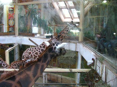 Žirafa rothschildova, Giraffa camelopardalis rothschildi, Baringo Giraffe